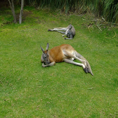 Kangaroo's laying about. Douing their thing I suppose